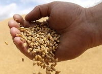 grain-mirfak-wholesale-supplier.jpg